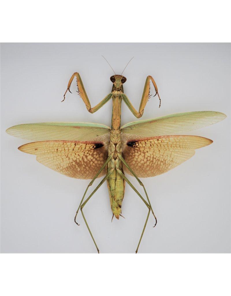 Nature Deco Groene sprinkhaan XL in luxe 3D lijst 22 x 22cm