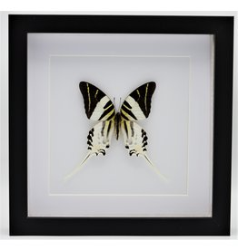 Nature Deco Graphium Androcles in luxury 3D frame