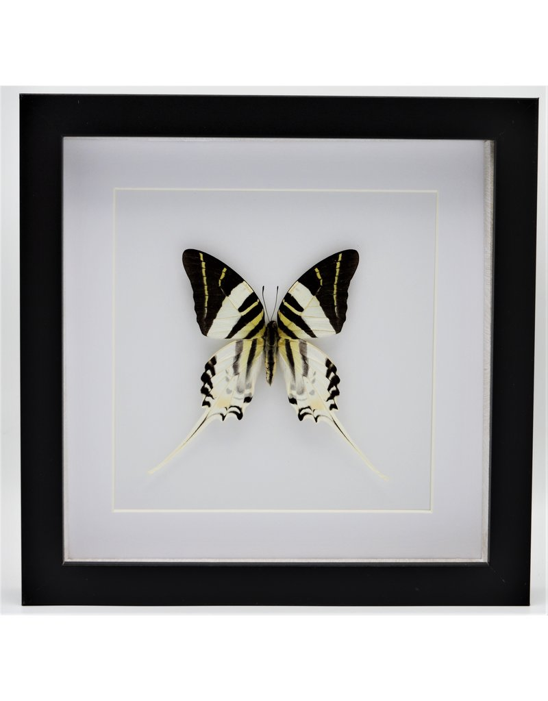 Nature Deco Graphium Androcles in luxury 3D frame 22 x 22cm