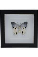 Nature Deco Charaxes Hadrianus in luxury 3D frame 17 x 17cm