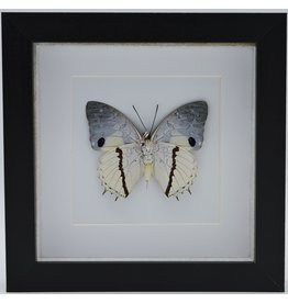 Nature Deco Charaxes Hadrianus in luxury 3D frame