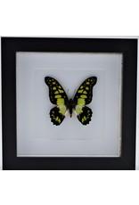 Nature Deco Graphium Tyndareus in luxury 3D frame 17 x 17cm