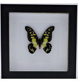 Nature Deco Graphium Tyndareus in luxe 3D lijst