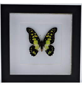 Nature Deco Graphium Tyndareus in luxury 3D frame