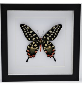 Nature Deco Papilio Antenor in luxe 3D lijst