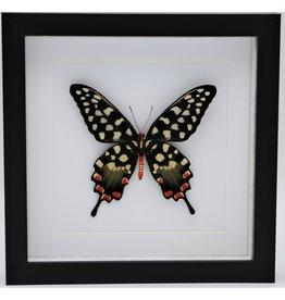 Nature Deco Papilio Antenor in luxury 3D frame