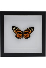 Nature Deco Papilio Zagreus in luxury 3D frame 22 x 22cm