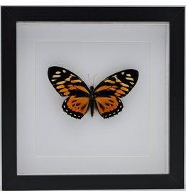 Nature Deco Papilio Zagreus in luxe 3D lijst