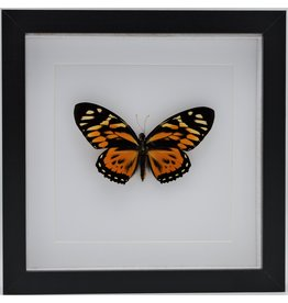 Nature Deco Papilio Zagreus in luxury 3D frame