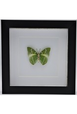 Nature Deco Charaxes Eupale in luxe 3D lijst 17 x 17cm