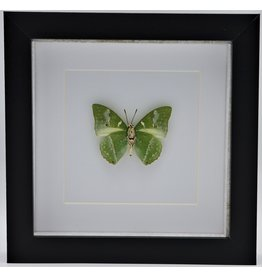 Nature Deco Charaxes Eupale in luxe 3D lijst