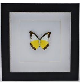 Nature Deco Appias Lyncida in luxe 3D lijst
