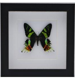 Nature Deco Urania Ripheus bovenkant in luxe 3D lijst