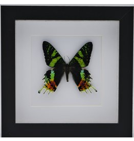 Nature Deco Urania Ripheus upside in luxury 3D frame