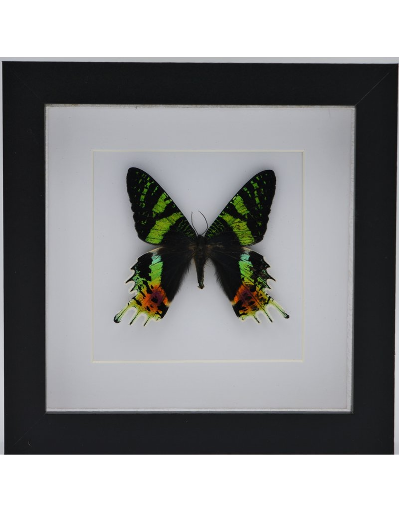 Nature Deco Urania Ripheus upside in luxury 3D frame 17 x17cm