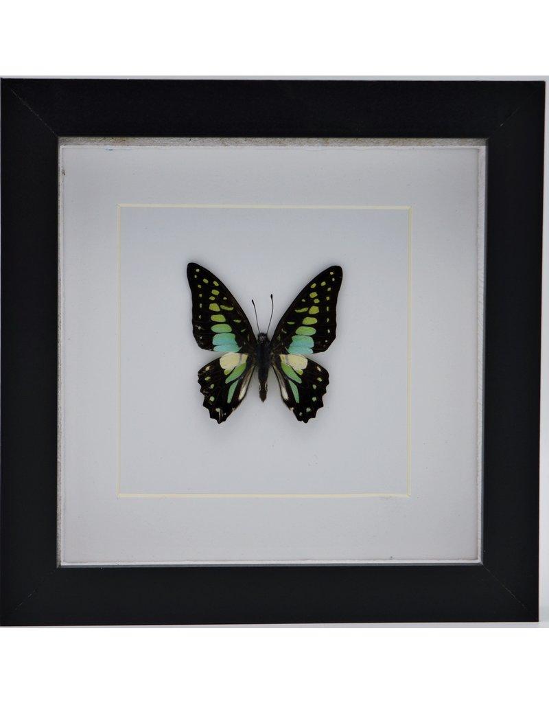 Nature Deco Graphium Doson in luxury 3D frame  17 x 17cm