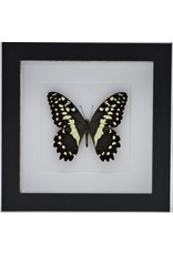 Nature Deco Papilio Demodocus in luxury 3D frame 17 x 17cm