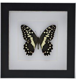 Nature Deco Papilio Demodocus in luxe 3D lijst