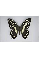Nature Deco Papilio Demodocus in luxe 3D lijst 17 x 17cm