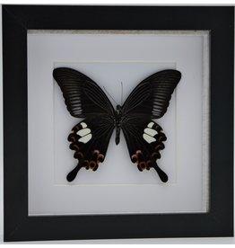 Nature Deco Papilio Helenus in luxe 3D lijst