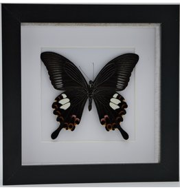 Nature Deco Papilio Helenus in luxury 3D frame