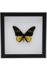 Nature Deco Troides Cuneifera man in luxe 3D lijst 22 x 22cm