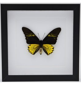 Nature Deco Troides Cuneifera (male) in luxury 3D frame