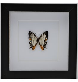 Nature Deco Cyrestis Thyodamas in luxe 3D lijst