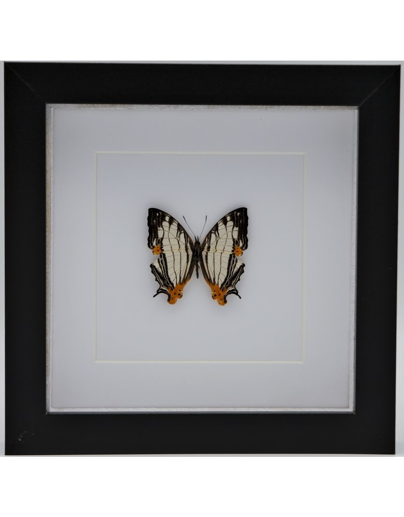 Nature Deco Cyrestis Thyodamas in luxury 3D frame 17 x 17cm