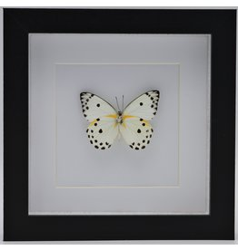 Nature Deco Belenois Calypso in luxury 3D frame