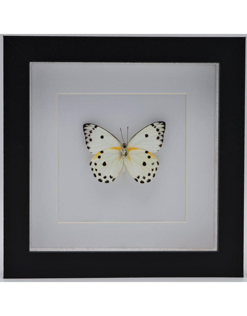 Nature Deco Belenois Calypso in luxury 3D frame 17 x 17cm
