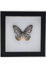 Nature Deco Graphium Delessertii iunderside n luxury 3D frame 17 x 17cm