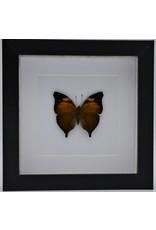 Nature Deco Doleschallia Bisaltide bovenkant in luxe 3D lijst 17 x 17cm