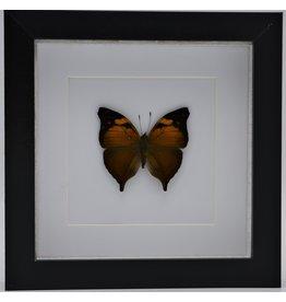 Nature Deco Doleschallia Bisaltide bovenkant in luxe 3D lijst