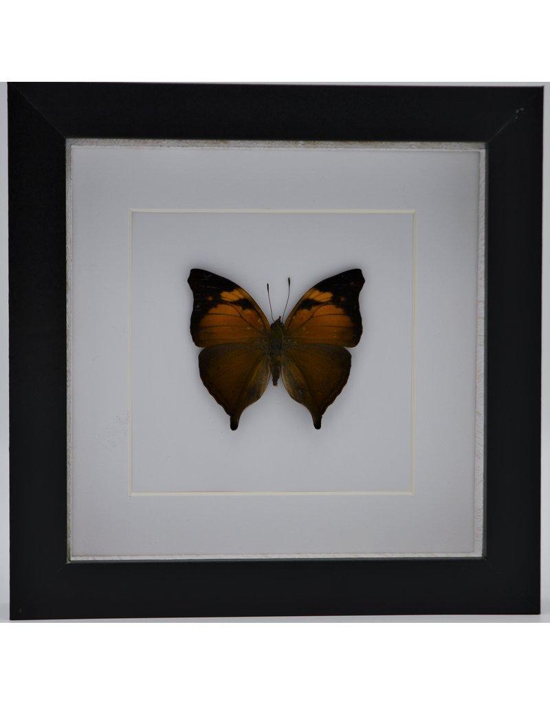 Nature Deco Doleschallia Bisaltide uperside in luxury 3D frame 17 x 17cm
