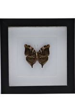 Nature Deco Doleschallia Bisaltide underside in luxury 3D frame 17 x 17cm