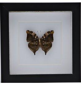 Nature Deco Doleschallia Bisaltide onderkant in luxe 3D lijst