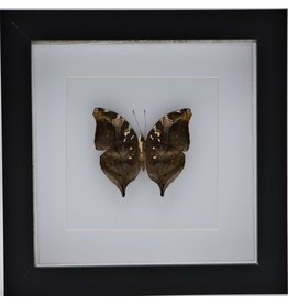 Nature Deco Doleschallia Bisaltide underside in luxury 3D frame