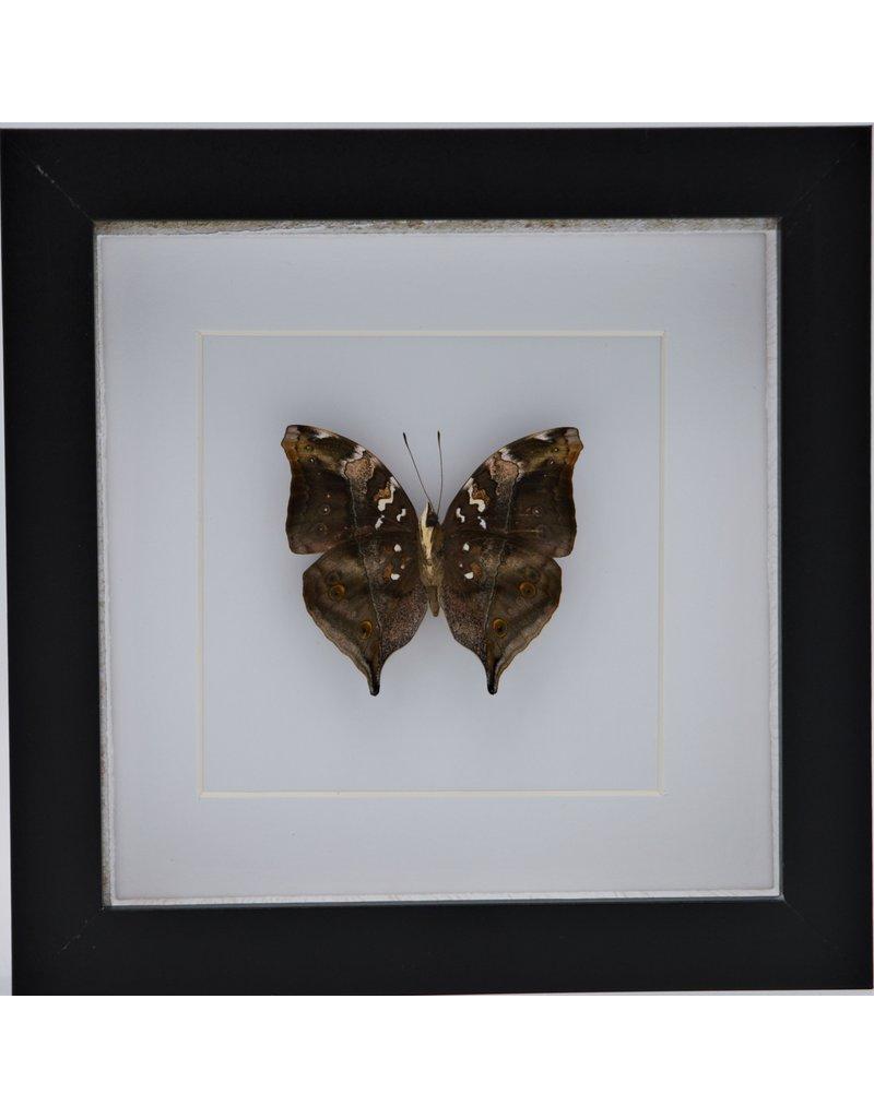 Nature Deco Doleschallia Bisaltide onderkant in luxe 3D lijst 17 x 17cm