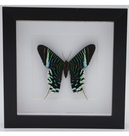 Nature Deco Urania Leilus underside in luxury 3D frame