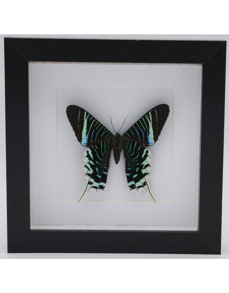 Nature Deco Urania Leilus underside in luxury 3D frame 17 x 17cm