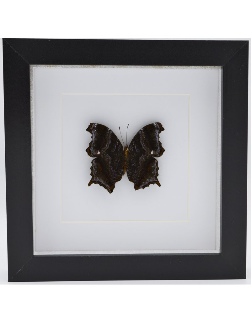 Nature Deco Rhinopalpa Polynice onderkant in luxe 3D lijst 17 x 17cm