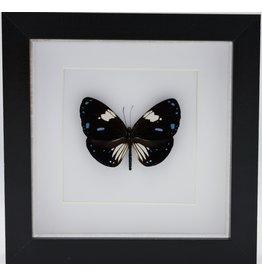 Nature Deco Euploea Rhadamanthus in luxe 3D lijst