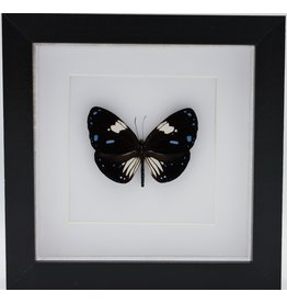 Nature Deco Euploea Rhadamanthus  in luxury 3D frame