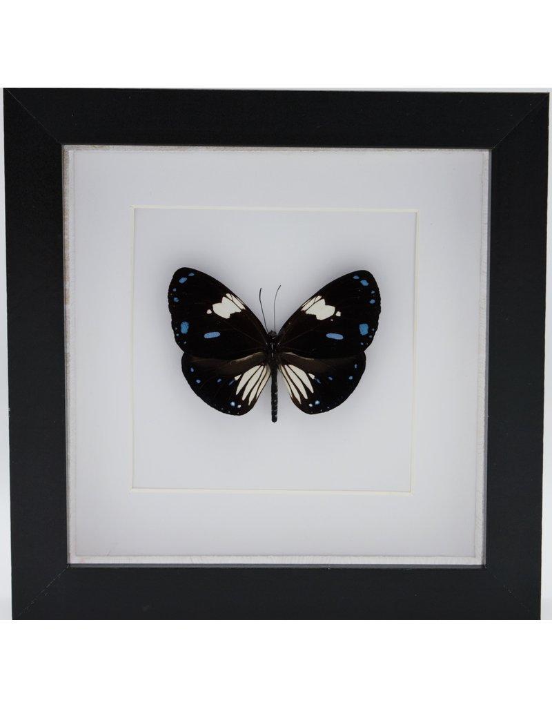 Nature Deco Euploea Rhadamanthus in luxe 3D lijst 17 x 17cm