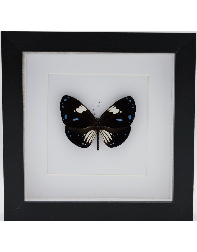 Nature Deco Euploea Rhadamanthus  in luxury 3D frame 17 x 17cm