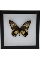 Nature Deco Troides Cuneifera female in luxury 3D frame 22 x 22cm