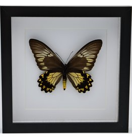 Nature Deco Troides Cuneifera (female) in luxury 3D frame