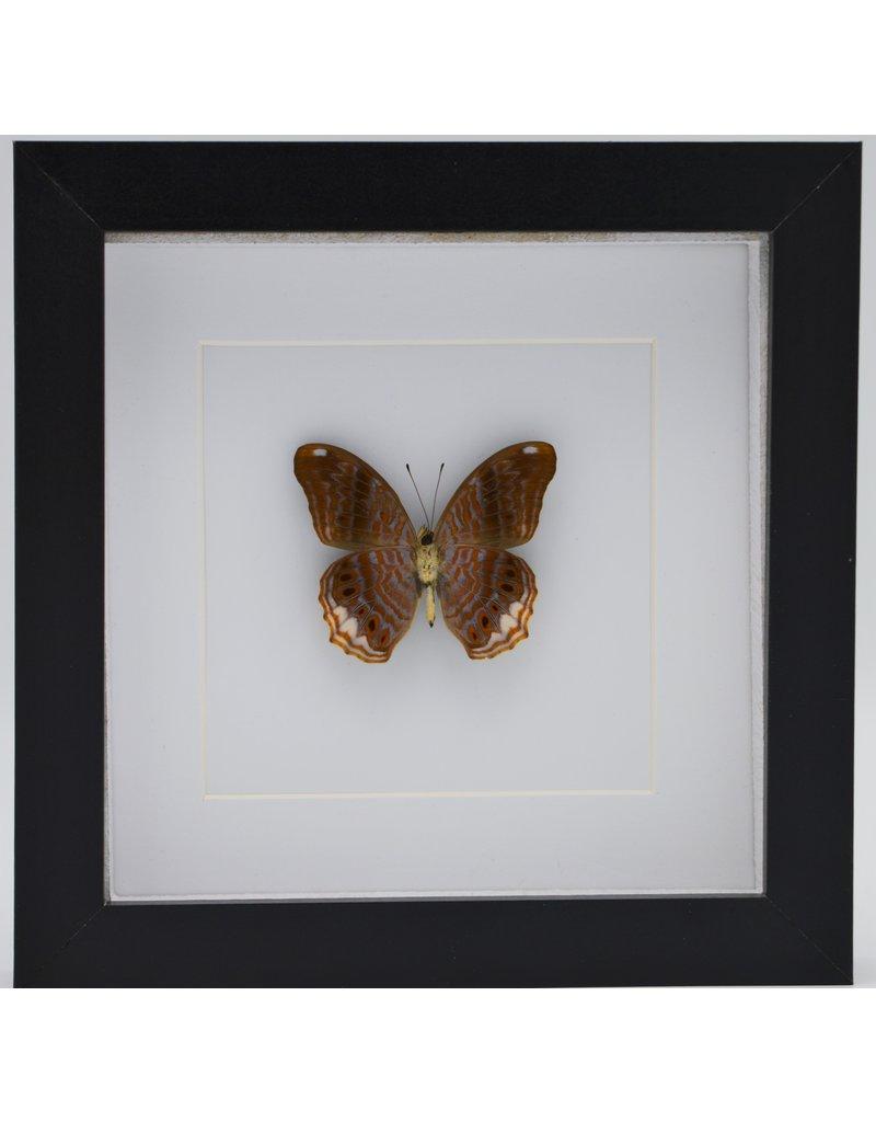 Nature Deco Terinos Terpander in luxe 3D lijst 17 x 17cm