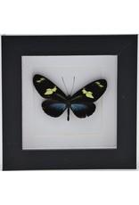 Nature Deco  Heliconius Doris Eratonius blauw in luxe 3D lijst 12 x 12cm